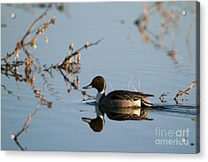 Northern Pintail Mirror Image Acrylic Print