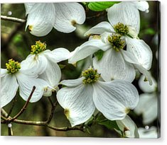 Acrylic Print featuring the photograph Mississippi Dogwood II by Lanita Williams