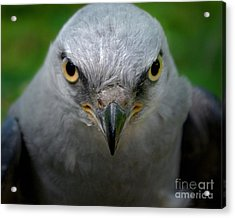 Mississippi Kite Stare Acrylic Print