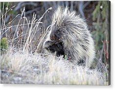 Acrylic Print featuring the photograph Mister Porcupine - Denali Alaska by Dyle   Warren