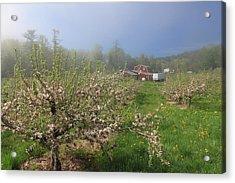 Misty Apple Blossoms Acrylic Print by John Burk
