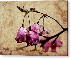 Misty Cherry Blossoms Acrylic Print by Jon Woodhams
