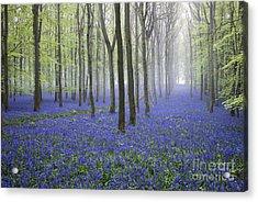 Misty Dawn Bluebell Wood Acrylic Print by Tim Gainey