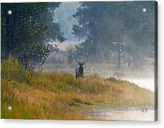 Misty Morning Elk Acrylic Print