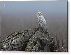 Acrylic Print featuring the photograph Misty Morning Snowy Owl by Daniel Behm