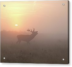 Misty Morning Stag Acrylic Print by Greg Morgan