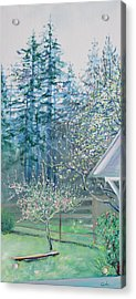 Misty Morning With Apple Blossoms And Redwoods Acrylic Print by Asha Carolyn Young