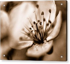 Misty Plumb Blossom Acrylic Print by Robert Culver
