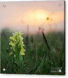 Misty Sunset Orchid Acrylic Print by Kennerth and Birgitta Kullman