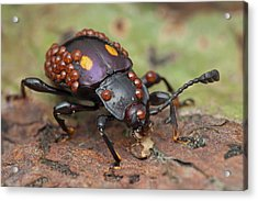 Mites On Fungus Beetle Acrylic Print by Melvyn Yeo/science Photo Library