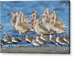 Mixed Flock Of Shorebirds Acrylic Print
