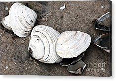 Mixed Shells Acrylic Print by John Rizzuto
