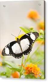 Mocker Swallowtail Acrylic Print by Anne Gilbert