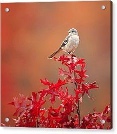 Mockingbird Autumn Square Acrylic Print by Bill Wakeley