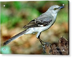 Mockingbird Acrylic Print by Millard H. Sharp