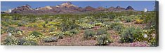 Mojave Desert Floral Display Acrylic Print by Jennifer Nelson