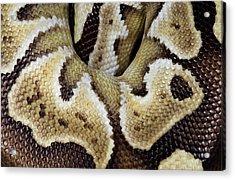 Mojave Royal Python Acrylic Print