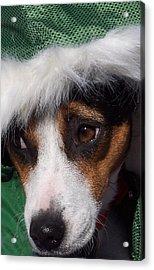 Mojo's New Holiday Coat Acrylic Print by Claudia Goodell