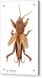 Mole Cricket Acrylic Print by Natural History Museum, London