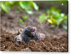 Mole In Ground Acrylic Print by Michal Bednarek