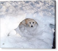 Molly Hidding In Her Snow Cave Acrylic Print by Sheila Byers