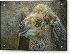 Mom And Baby Camel Acrylic Print