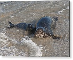 Acrylic Print featuring the photograph Mom And Baby Harbor Seal by Lee Kirchhevel