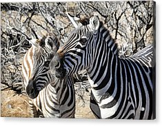 Mom And Filly-  Zebras Acrylic Print