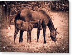 Mom And Foal Acrylic Print