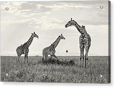 Mom And Twin Giraffes Acrylic Print