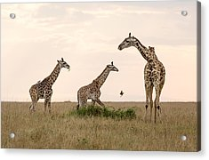 Mom Giraffe And Twins In Color Acrylic Print