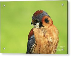Moments Of Beauty American Kestrel Falcon  Acrylic Print by Inspired Nature Photography Fine Art Photography