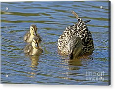 Momma Mallard And Her Ducklings Acrylic Print by Sharon Talson