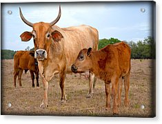 Acrylic Print featuring the photograph Mommy And Baby Cows by Amanda Vouglas