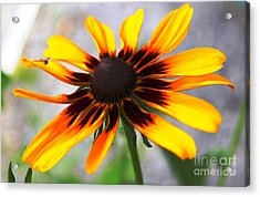 Mom's Black Eyed Susan Acrylic Print by Judy Palkimas