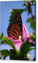 Monarch 2 Acrylic Print by Tannis  Baldwin