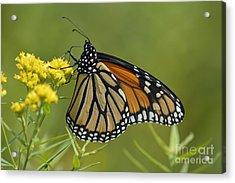 Monarch 2014 Acrylic Print by Randy Bodkins