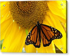 Monarch And Sunflower Acrylic Print by Ann Horn