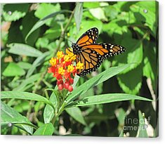 Monarch At Rest Acrylic Print
