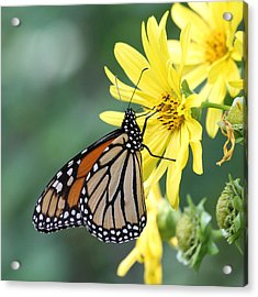 Acrylic Print featuring the photograph Monarch Beauty by Doris Potter