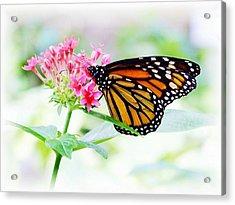 Monarch Beauty Acrylic Print by Jim  Darnall