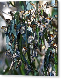 Monarch Butterflies Natural Bridges Acrylic Print