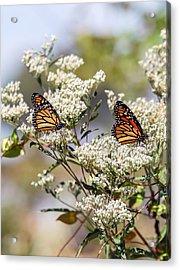 Monarch Butterflies On Milkweed Acrylic Print