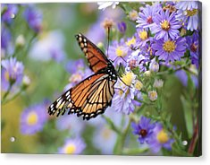 Monarch Butterfly 3 Acrylic Print