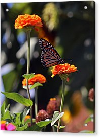 Monarch Butterfly And Orange Zinnias Acrylic Print by Kay Novy