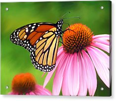 Monarch Butterfly Acrylic Print by Christina Rollo