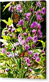 Monarch Butterfly Couple Acrylic Print