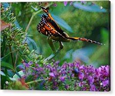 Monarch Butterfly Down Acrylic Print by Joy Bradley