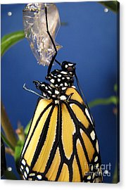 Monarch Butterfly Emerging From Chrysalis Acrylic Print by Inspired Nature Photography Fine Art Photography