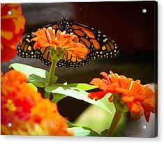 Monarch Butterfly II Acrylic Print